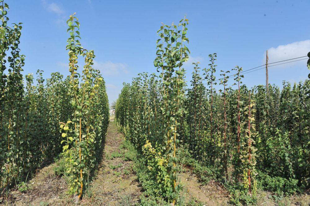 Agricultura inmoviliza plantones de frutales en for Viveros frutales